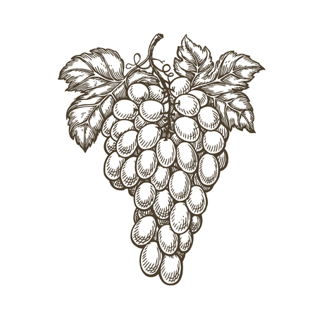 Hand drawn bunch of grapes. Ilustrace