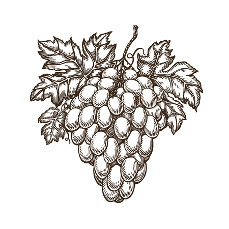 Drawn branch of grapes with leaves.