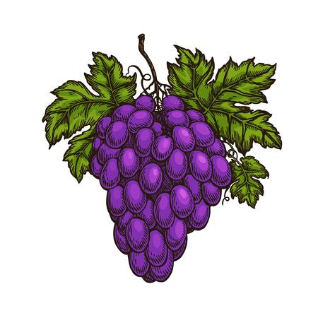 Cluster of grapes. Fruit, winery, wine sketch. Illusztráció