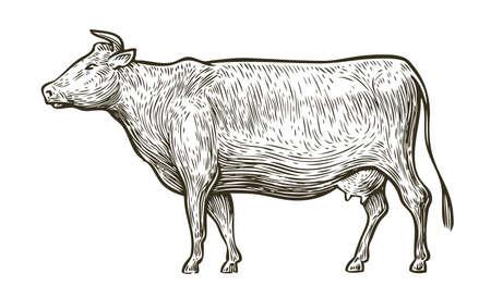 Cow sketch. Hand drawn vintage vector illustration Ilustração Vetorial