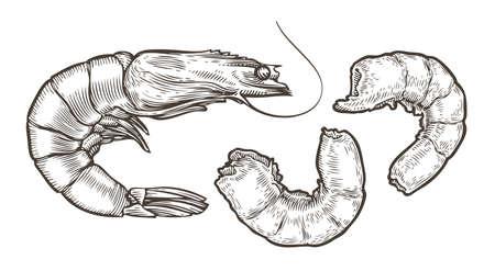 Shrimp sketch. Seafood, food vintage vector illustration 矢量图像