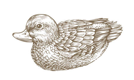 Duck drawn sketch, Waterfowl, bird vintage vector illustration 向量圖像