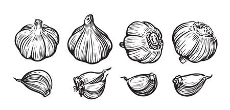Garlic hand drawn vector illustration set.