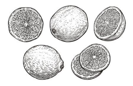 Hand drawn lime or lemon set. Fruit citrus sketch vector