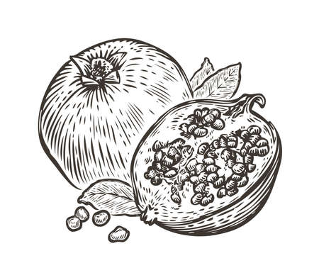 Pomegranate fruit. Organic nutrition healthy food. Engraved hand drawn vintage sketch