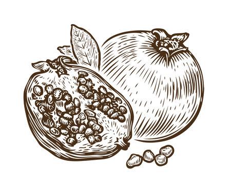 Hand drawn pomegranate fruit. Food sketch vector illustration