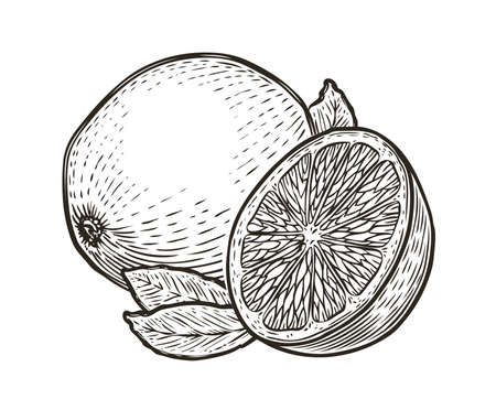 Lemon with leaves. Organic nutrition healthy food. Engraved hand drawn vintage sketch