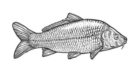 Sketch of carp in vintage engraving style. Hand drawn vector illustration of fish isolated on white background Vettoriali