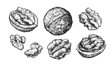 Walnuts set. Hand drawn sketch of nuts Isolated on white background. Vector illustration