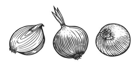 Fresh onion whole and sliced. Vegetables sketch vector illustration Vettoriali
