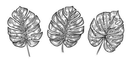 Monstera tropical leaves sketch. Vector illustration set isolated on white Vettoriali