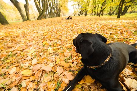Black dog in the autumn park looking at the couple