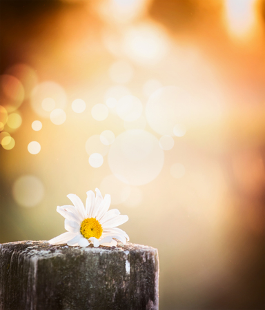 daisy flower on a wooden table on blurred nature background with sunset light and bokeh Фото со стока