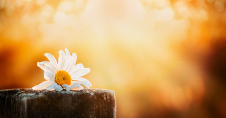 daisy flower on a wooden table on a natural background sunset sky, banner for website Stock Photo