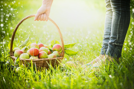 recently: woman lifts a basket with recently collected apples with grass, selected focus Stock Photo