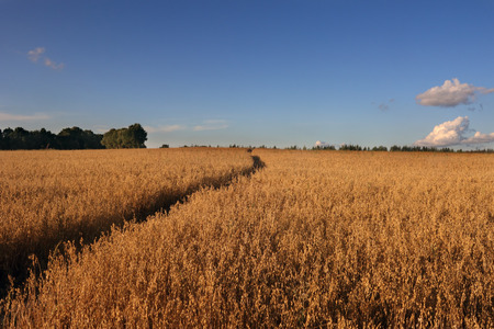 gramineous: Small path across the field diagonal photo Stock Photo