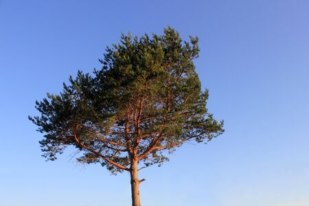 lone pine: Lone pine over the blue sky photo