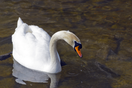 White swan on the water. Most large water bird with a long neck and a well-developed the flying muscles.