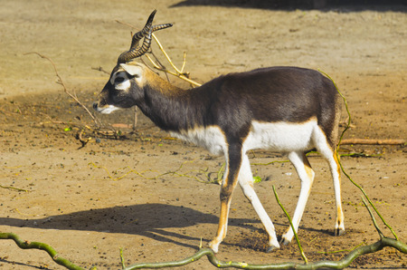 herbivore: Horned antelope in a zoo. Herbivore with a beautifully curled horns. Most running speed and jumping ability.