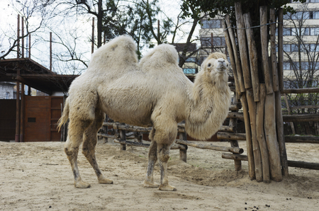 means of transportation: Mammals. Bactrian camel in the zoo. Excellent means of transportation in the wilderness