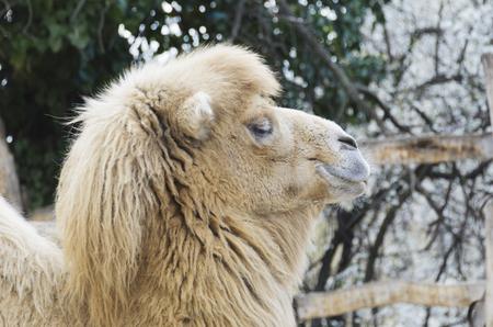 means of transportation: Mammals. Bactrian camel in the zoo. Excellent means of transportation in the wilderness