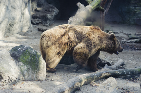 foreleg: Bear in the zoo, Rough, powerful animal. Mammal, brown hair. Stock Photo