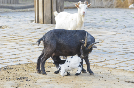 villagers: The goat at the zoo. Favorite pamper children and villagers.