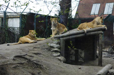 felines: Lioness in the zoo. Felines. Dangerous, big and strong animal.