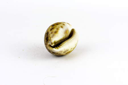 Sea shell found on the sea floor on a white background Stock Photo