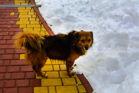 soppy: Frozen dog on the path with snow in the yard of a private house Stock Photo