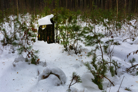 The bushes and stumps covered with snow in the winter forest Stock Photo