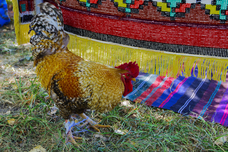 brigh: Rooster with a red comb and colorful plumage