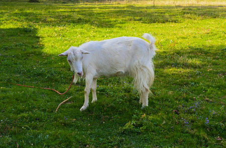 Goat is the oldest pet. Suppliers of valuable raw materials - fluff, hair, skin, milk products Stock Photo