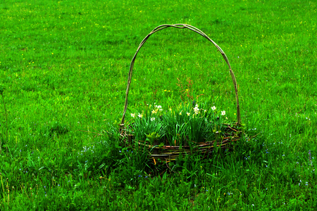 bulb fields: White daffodil on the landscape design of the flower garden. White daffodils in the fields in the spring Stock Photo