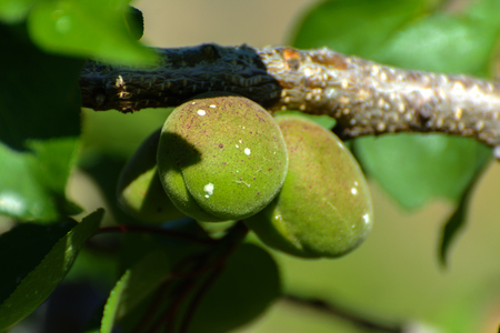 Green apricot on a tree in a private house garden