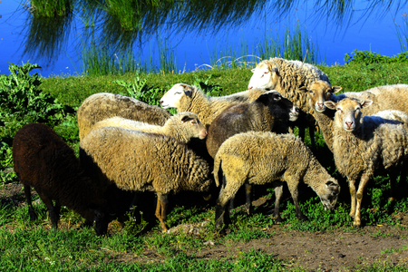 A herd of sheep grazing on a beautiful meadow for grazing Stock Photo