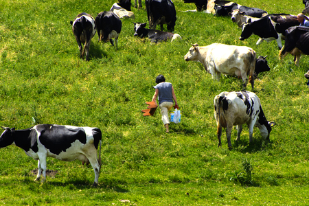 milker: A large herd of cows. Milkmaid milking cows right in the field