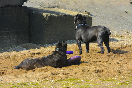 Two dogs Rottweiler in the water by the sea playing with a toy in the form of a ring Stock Photo
