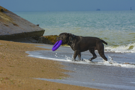 Rottweiler dog on the sand by the sea plays with a toy in the form of a ring Stock Photo