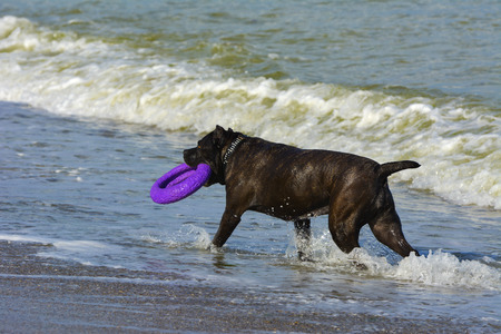 Rottweiler dog in the water on the beach playing with a toy in the form of a ring Stock Photo