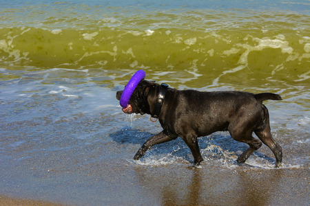 footprints in sand: Rottweiler dog on the sand by the sea plays with a toy in the form of a ring Stock Photo