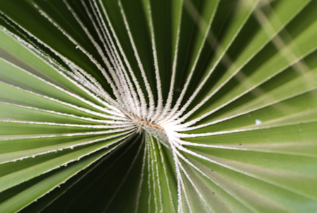 Green leaves of a palm tree spiral with a white middle in the center. Close-up of fragments. In the category of creative abstract background of exotic summer relaxation, the screen saver, wallpaper