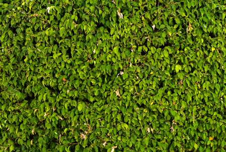 A wall of lush green foliage. Close-up of fragments. In the category of creative abstract background of exotics, screen saver, wallpaper