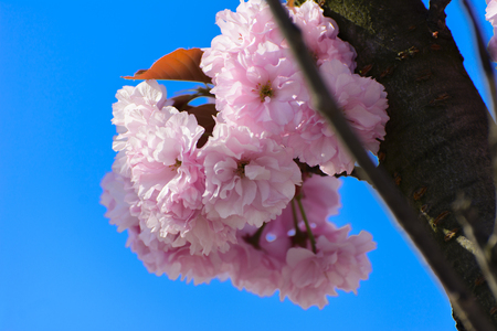 Soft focus Cherry blossom or Sakura flower on a tree branch against a blue sky background. Japanese cherry. Shallow depth of field. Focus on the center of a flower still life