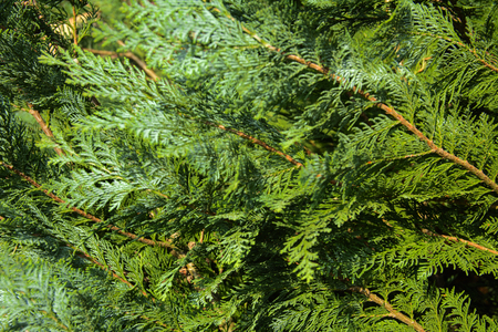 Thuja (life tree) in landscape design is one basic plants and is used to decorate alleys, borders, create hedges. Evergreen coniferous tree. Thuya is uncalled in care, smokestoychiva, cold-resistant