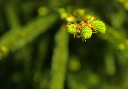A green branch of spruce with young shoots on a blurred background. Shallow depth of field. In the category of texture, screen saver, wallpaper. Banco de Imagens