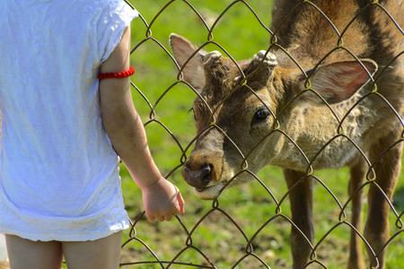 A little girl feeds a young deer in a zoo in the summer during the moulting period against a background of green grass. Scary ugly fur with bald patches