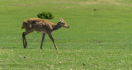 A unique period of molting deer. The deer loses its hair. It starts with the head, then goes over to the neck, legs, back and, finally, to the sides and belly. Scary ugly fur with bald patches