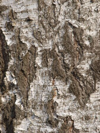 Trunk of a birch with the cracked bark Stock Photo - 2898171