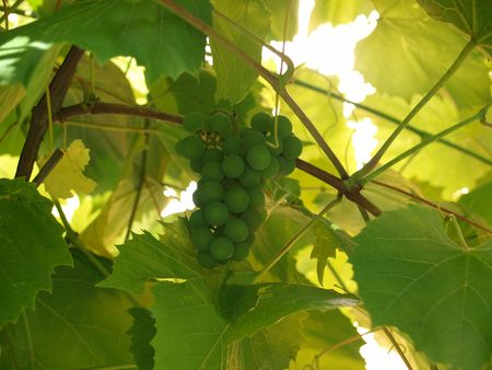 syrah: Brush of green grapes and grapevine        Stock Photo